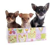 Chihuahua dos cachorrinhos Fotos de Stock Royalty Free