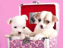 Chihuahua dos filhotes de cachorro Fotos de Stock Royalty Free