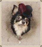 Chihuahua dresed divertida Foto de archivo