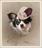 Chihuahua dresed engraçada fotos de stock