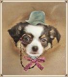 Chihuahua dresed engraçada fotos de stock royalty free