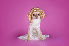 Chihuahua in a dress of the bride Stock Images