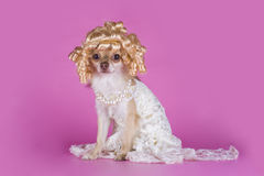 Chihuahua in a dress of the bride Stock Image