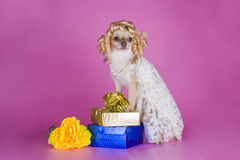 Chihuahua in a dress of the bride Stock Photography