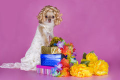 Chihuahua in a dress of the bride Royalty Free Stock Images