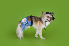 Chihuahua dressed as a cowboy Royalty Free Stock Photos