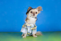 Chihuahua dressed as a cowboy Royalty Free Stock Photo