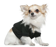 Chihuahua dressed in black, 1 year old, sitting Stock Image