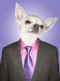 Chihuahua dressed business man Stock Photos