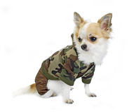 Chihuahua dressed in a fashion khaki jumpsuit. On white in studio Royalty Free Stock Photography