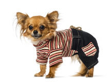 Chihuahua dressed Stock Image