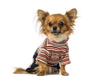 Chihuahua dressed Stock Photography