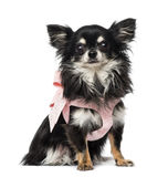 Chihuahua dressed Stock Photos