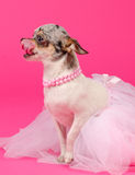 Chihuahua dressed like ballerina licking nose Stock Photo