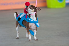 Chihuahua Is Dressed Like Race Horse With Jockey In Saddle Stock Images