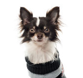 Chihuahua dressed looking at the camera Stock Photo