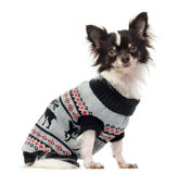Chihuahua dressed looking at the camera Stock Images