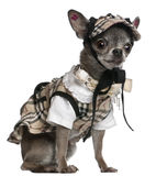 Chihuahua dressed in plaid outfit sitting Royalty Free Stock Image