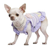 Chihuahua dressed in purple with pearl necklace Royalty Free Stock Images