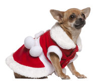 Chihuahua dressed in Santa outfit sitting Stock Photos