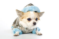 Chihuahua dressed in silver winter coat Stock Image