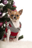 Chihuahua dressed and sitting in front of Christmas decorations Royalty Free Stock Photos
