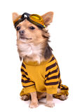 Chihuahua dressed with suit, goggles Royalty Free Stock Image