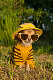 Chihuahua dressed with suit,hat and glasses Stock Photos
