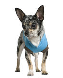 Chihuahua dressed in turquoise, 1 year old Royalty Free Stock Image