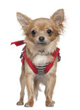 Chihuahua dressed up, 1 year old, standing Stock Image