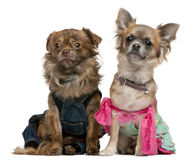 Chihuahua dressed up Stock Image