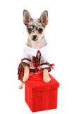 Chihuahua dressed up Stock Photo