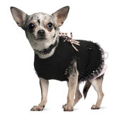 Chihuahua dressed up, 18 months old, standing Royalty Free Stock Photography