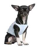 Chihuahua dressed-up Stock Images