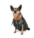 A chihuahua dressed up as a biker Royalty Free Stock Photo