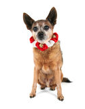A chihuahua dressed up for christmas Royalty Free Stock Photography