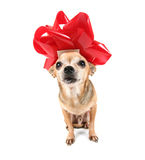 A chihuahua dressed up for christmas Stock Images