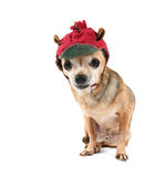 A chihuahua dressed up for christmas Royalty Free Stock Image