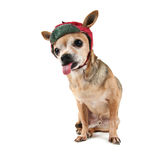 A chihuahua dressed up for christmas Royalty Free Stock Images