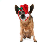 A chihuahua dressed up for christmas Stock Photography