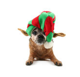 A chihuahua dressed up for christmas Stock Photo