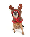 A chihuahua dressed up for christmas as a reindeer Royalty Free Stock Photos