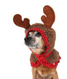 A chihuahua dressed up for christmas as a reindeer Stock Photos