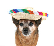 A chihuahua dressed up for cinco de mayo. A cute chihuahua on a white background