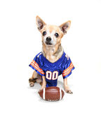 A chihuahua dressed up in a football uniform Royalty Free Stock Photography