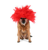 A chihuahua dressed up in a wig Royalty Free Stock Photography
