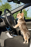Chihuahua driver with paws on steering wheel Royalty Free Stock Images