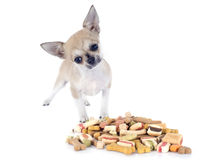 Chihuahua and dry food Stock Photo