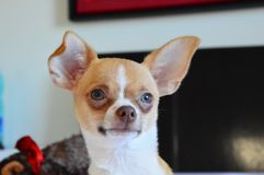 Chihuahua dulce de ojos azules Fotografía de archivo