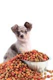 Chihuahua e cibo per cani Fotografia Stock Libera da Diritti